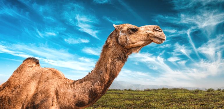 LChaim Camel